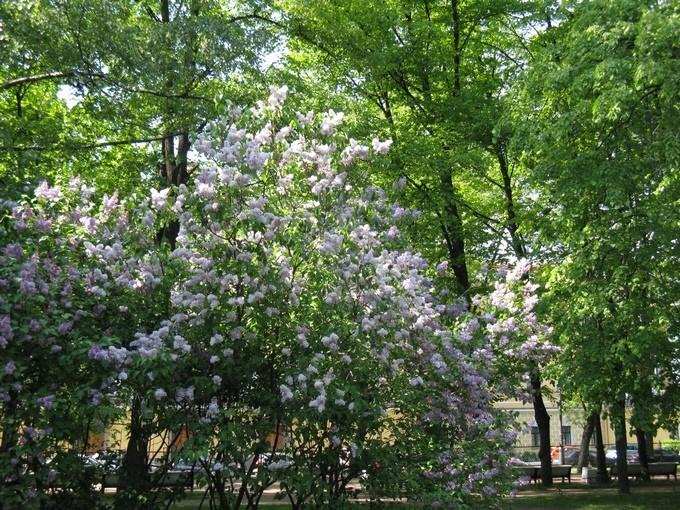 Сирень в Александровском саду