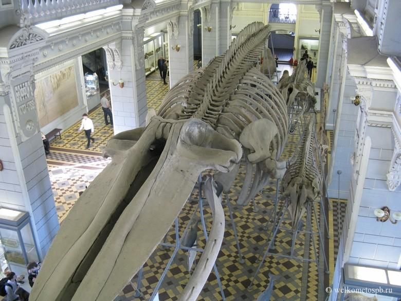 Скелет Синего кита