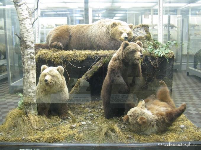 Медведи в Зоологическом музее