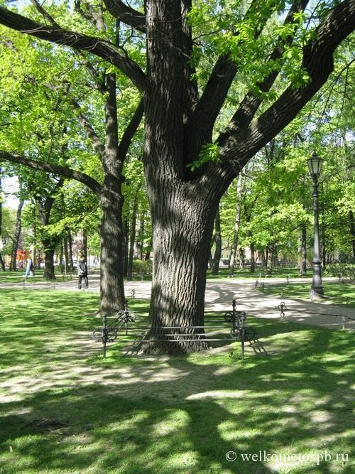 Александровский сад. Дуб Александра II